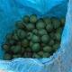 گردو با پوست سبز